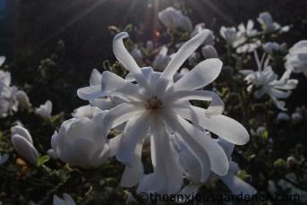Magnolia stellata