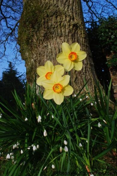 Priory daffodils