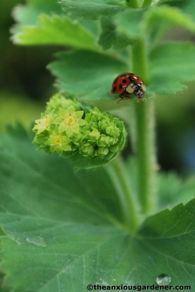 Ladybird on Alchemilla mollis