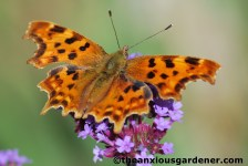 A comma on Verbena bonariensis