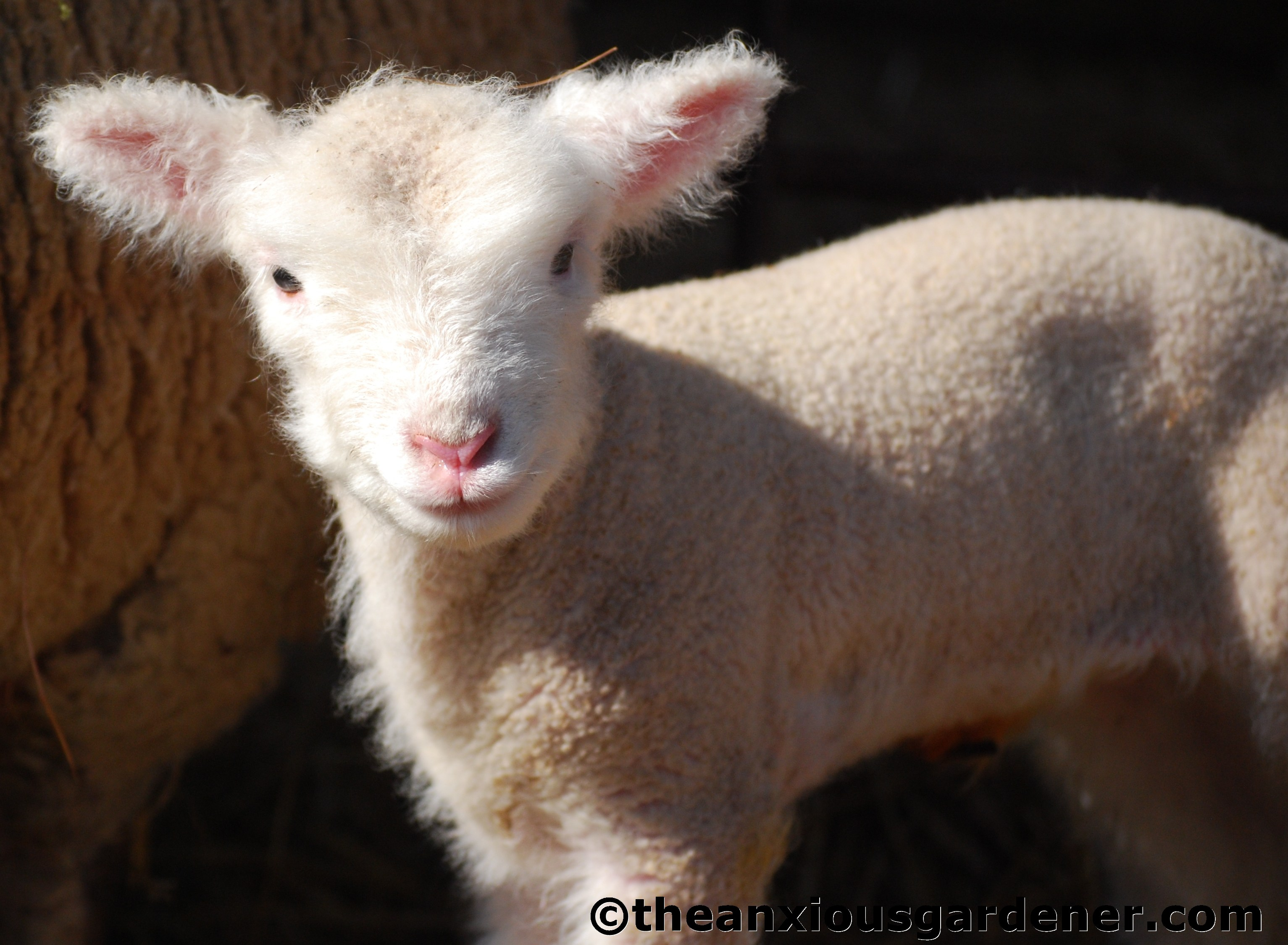 how to tell the age of a sheep