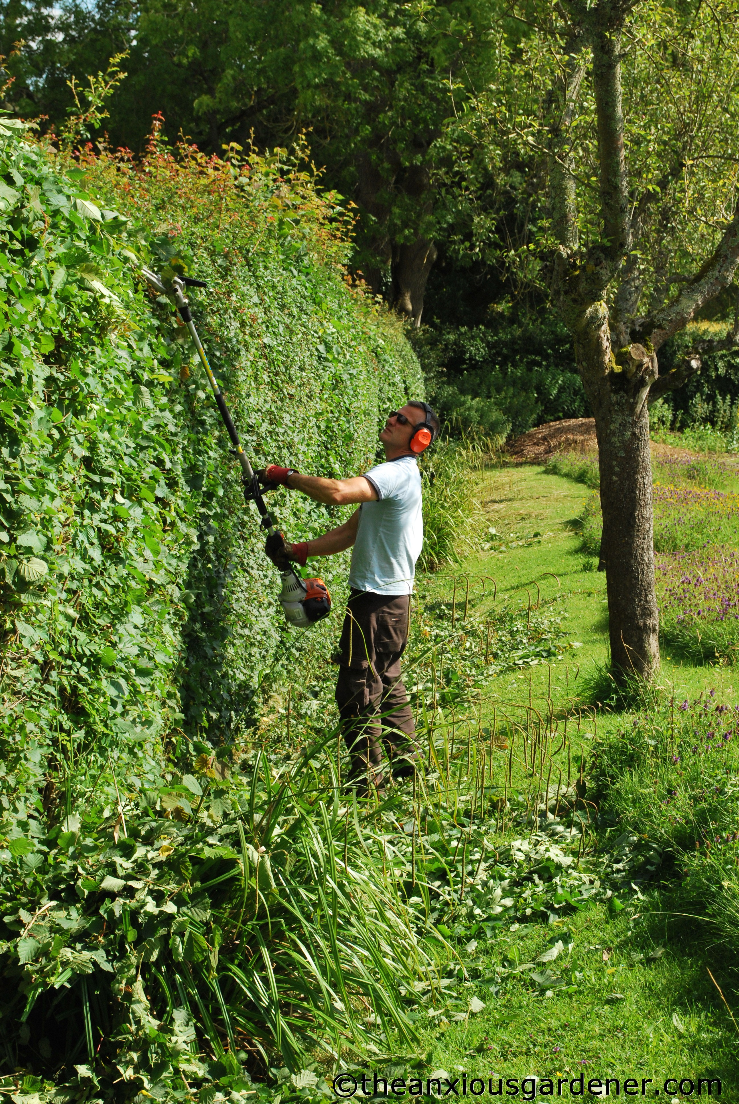 Uncategorized Hedge Trim cutting the mixed hedging anxious gardener these