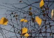 Birch leaves in autumn