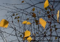 Birch leaves in autumn