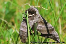 Eyed hawk-moth