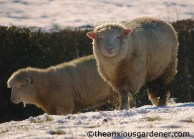 Smiling Sussex Sheep