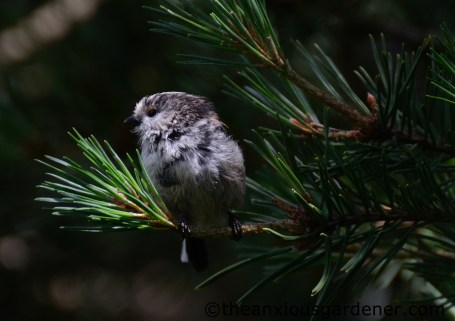 Young long-tailed tit