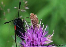 Six-spot burnet moth
