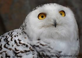 Snowy Owl (Bubo scandiacus)