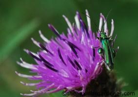 Thick-legged flower beetle on knapweed