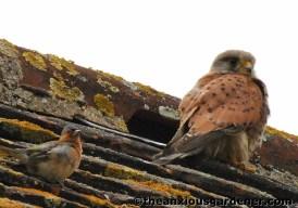 Kestrel and chaffinch
