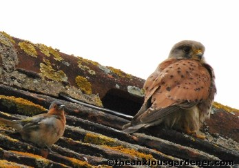Kestrel and chaffinch
