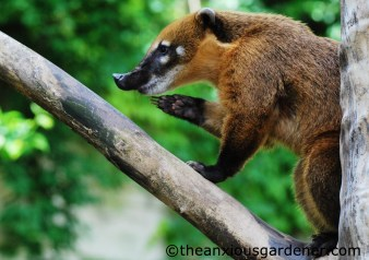 South American Coati (Nasua nasua)