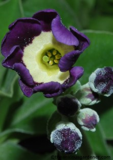 Auriculas in the greenhouse