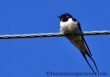 Polish swallow