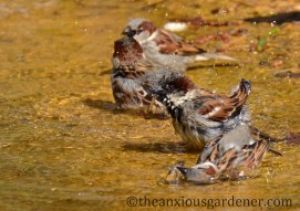 House sparrows bathing