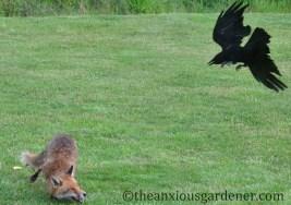Crow mobbing fox
