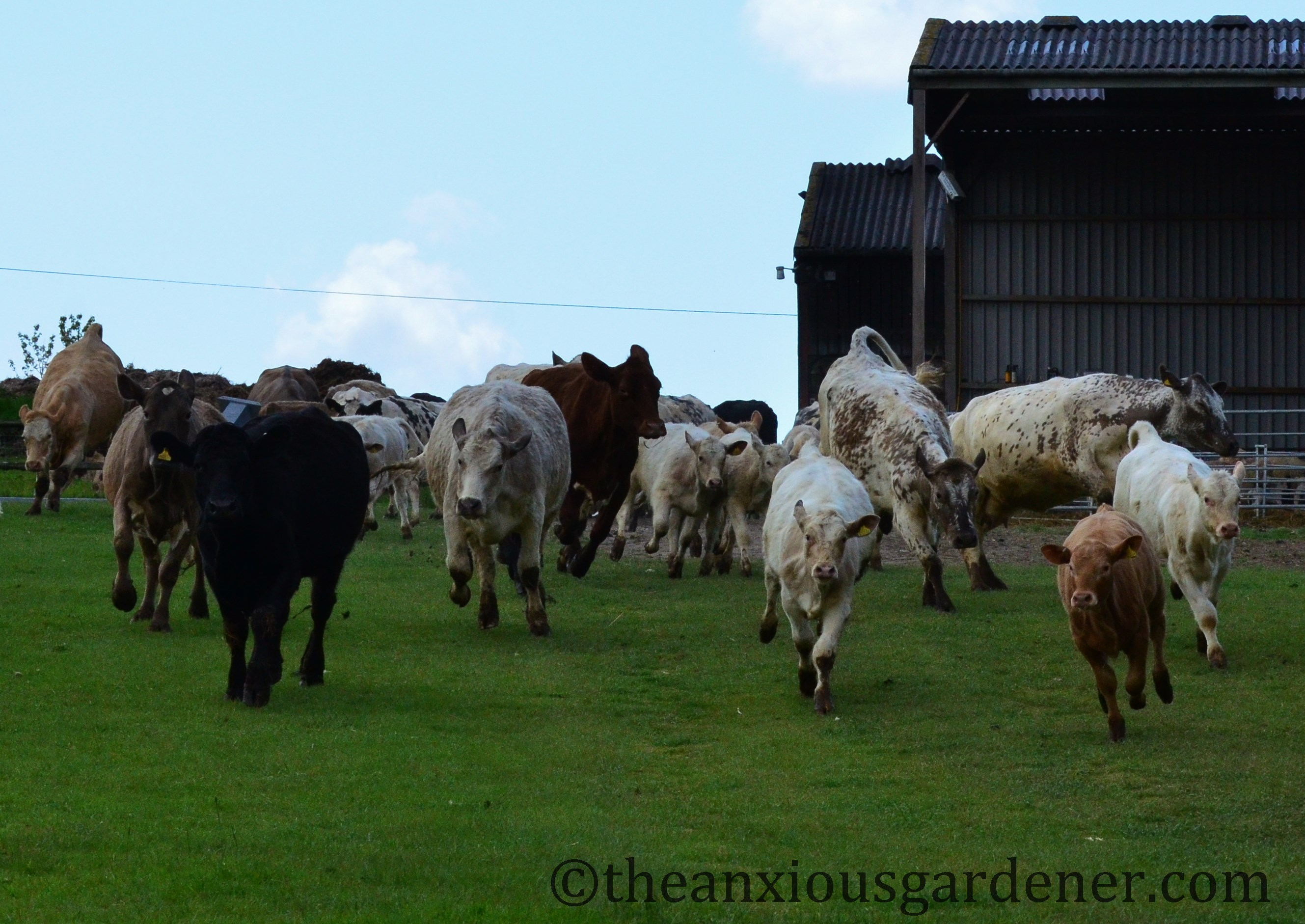 A Stampede Of Cows The Anxious Gardener