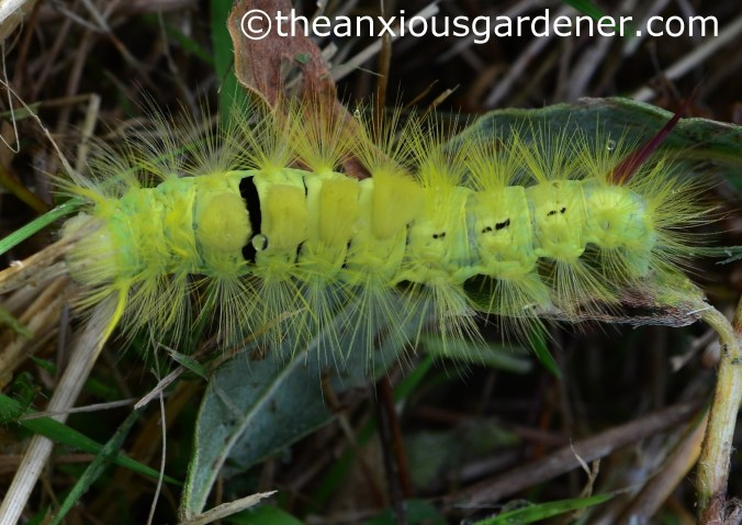 Pale Tussock Moth Caterpillar (1)