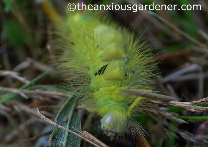 Pale Tussock Moth Caterpillar (5)