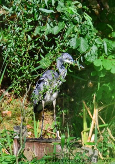 grey-heron-02