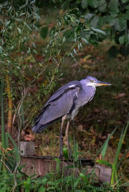 grey-heron-03