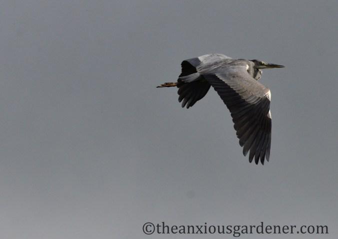 grey-heron-07
