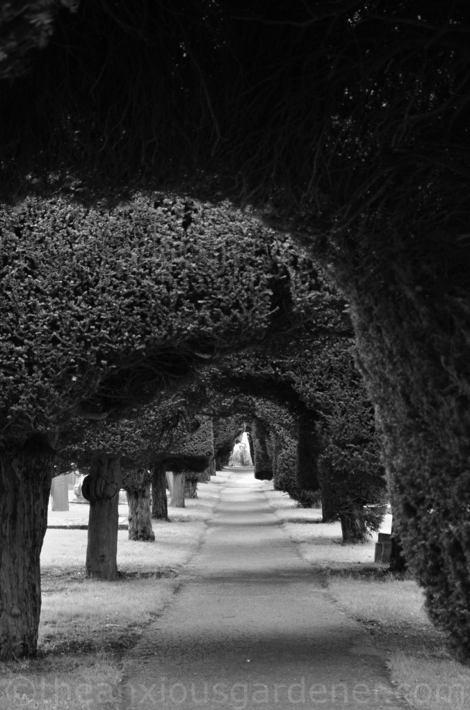 Painswick Yew Trees (1)