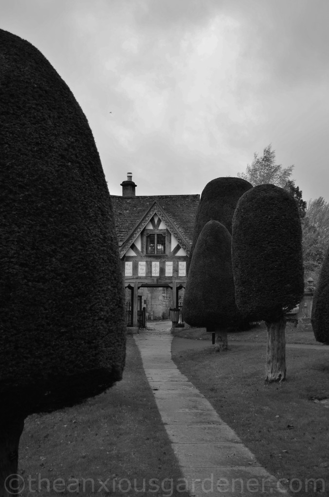Painswick Yew Trees (4)