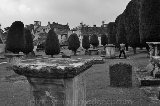Painswick Yew Trees (7)