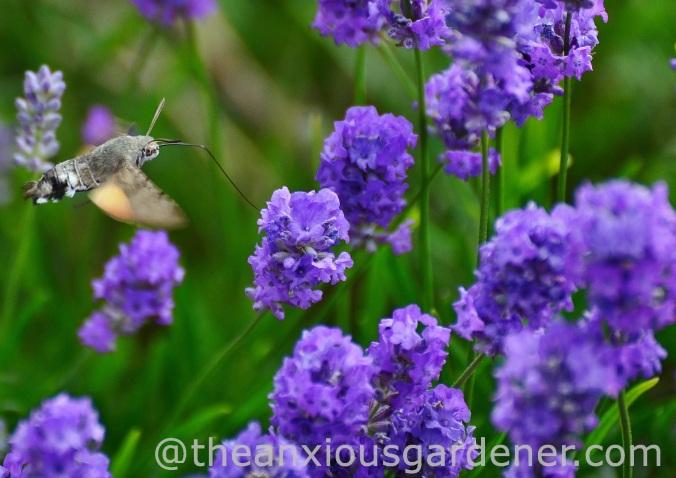 Hummingbirdhawkmoth_DSM02