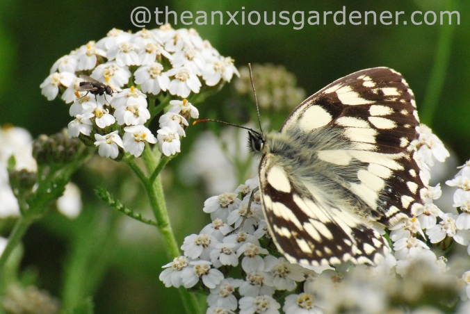 Marbled White, July 2012