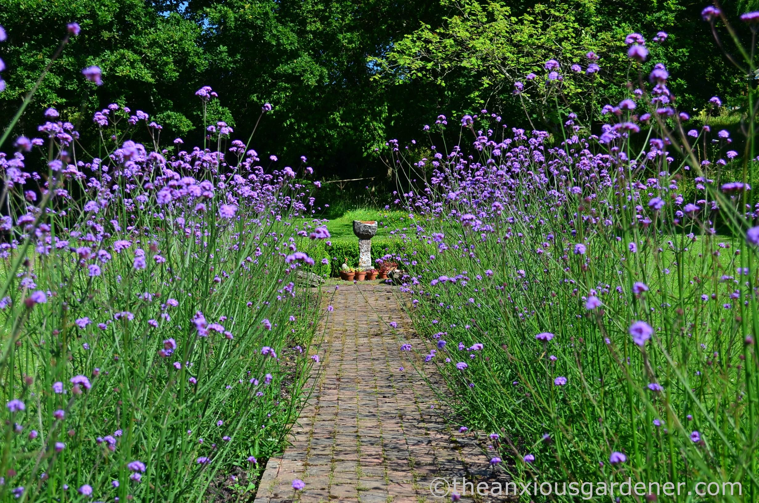 Save Big Bird >> Verbena Bonariensis Beds | The Anxious Gardener
