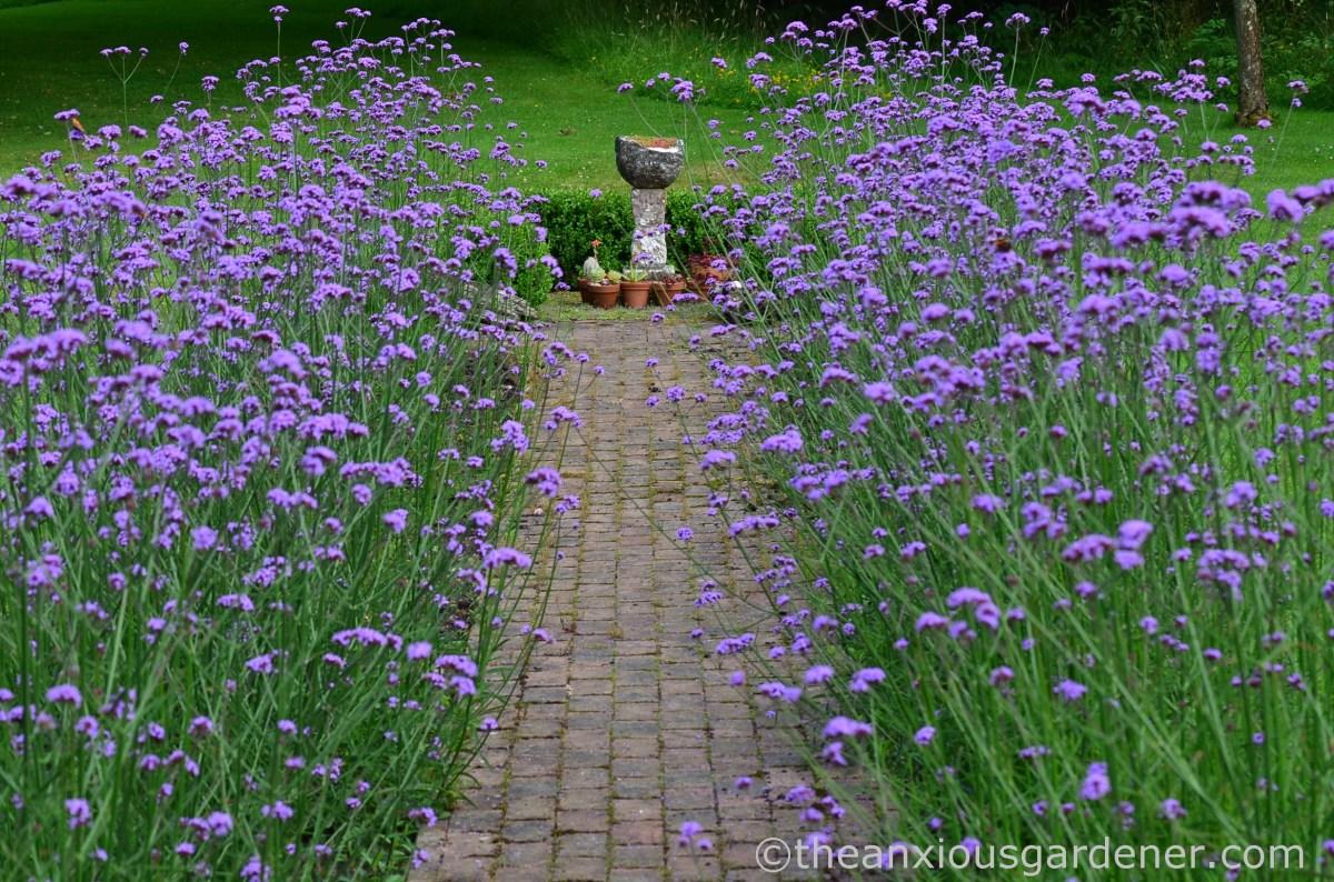 Verbena Bonariensis Beds | The Anxious Gardener