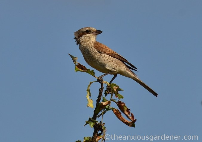 Red-backed shrikes (1)