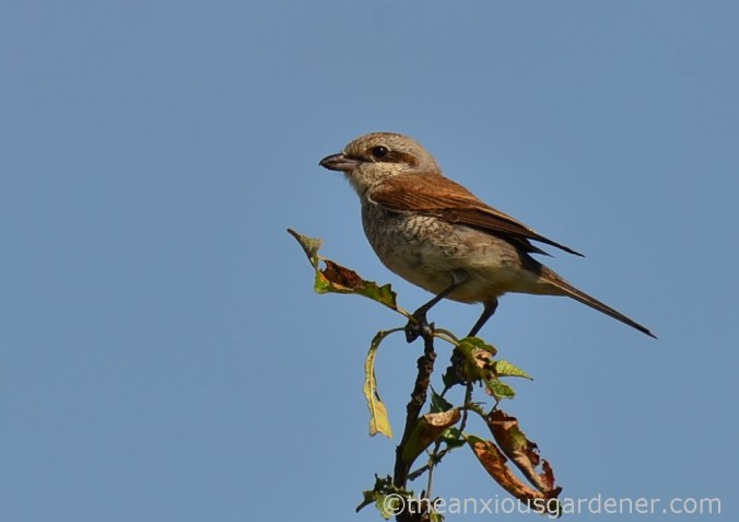 Red-backed shrikes (2)