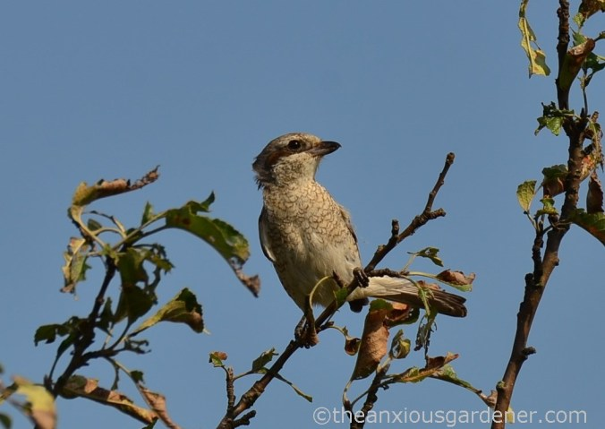 Red-backed shrikes (3)