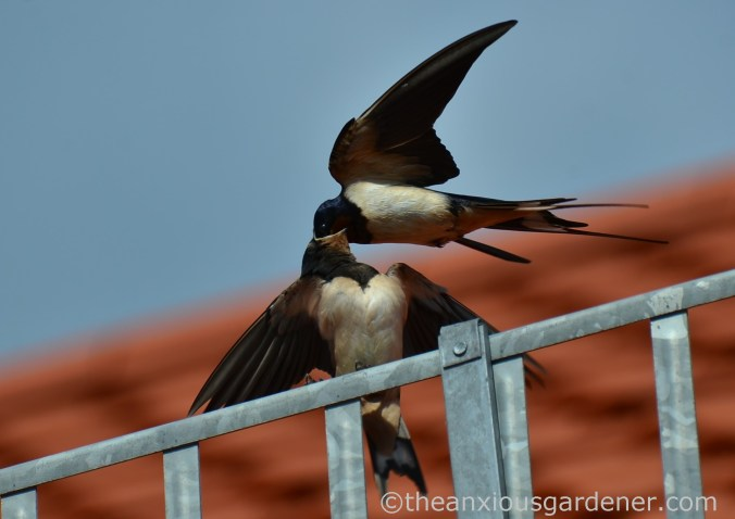 Swallow (1)