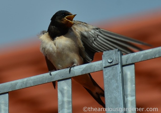 Swallow (2)