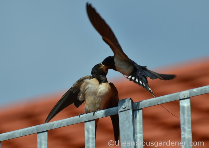Swallow (3)