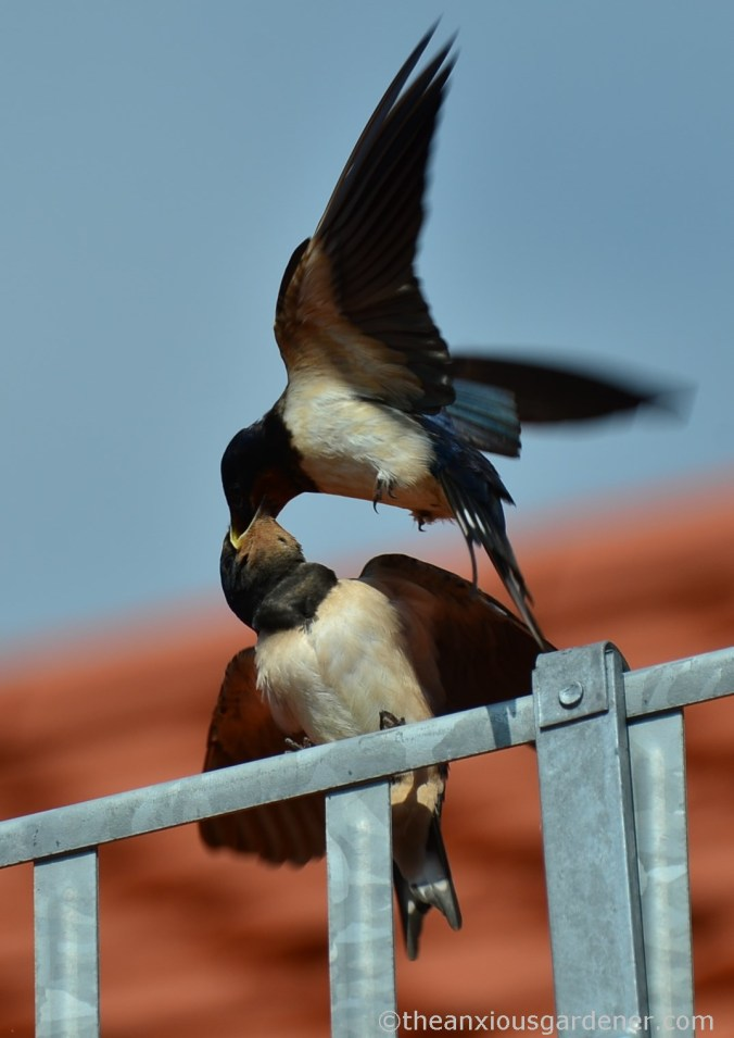 Swallow (4)