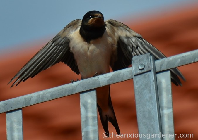 Swallow (5)