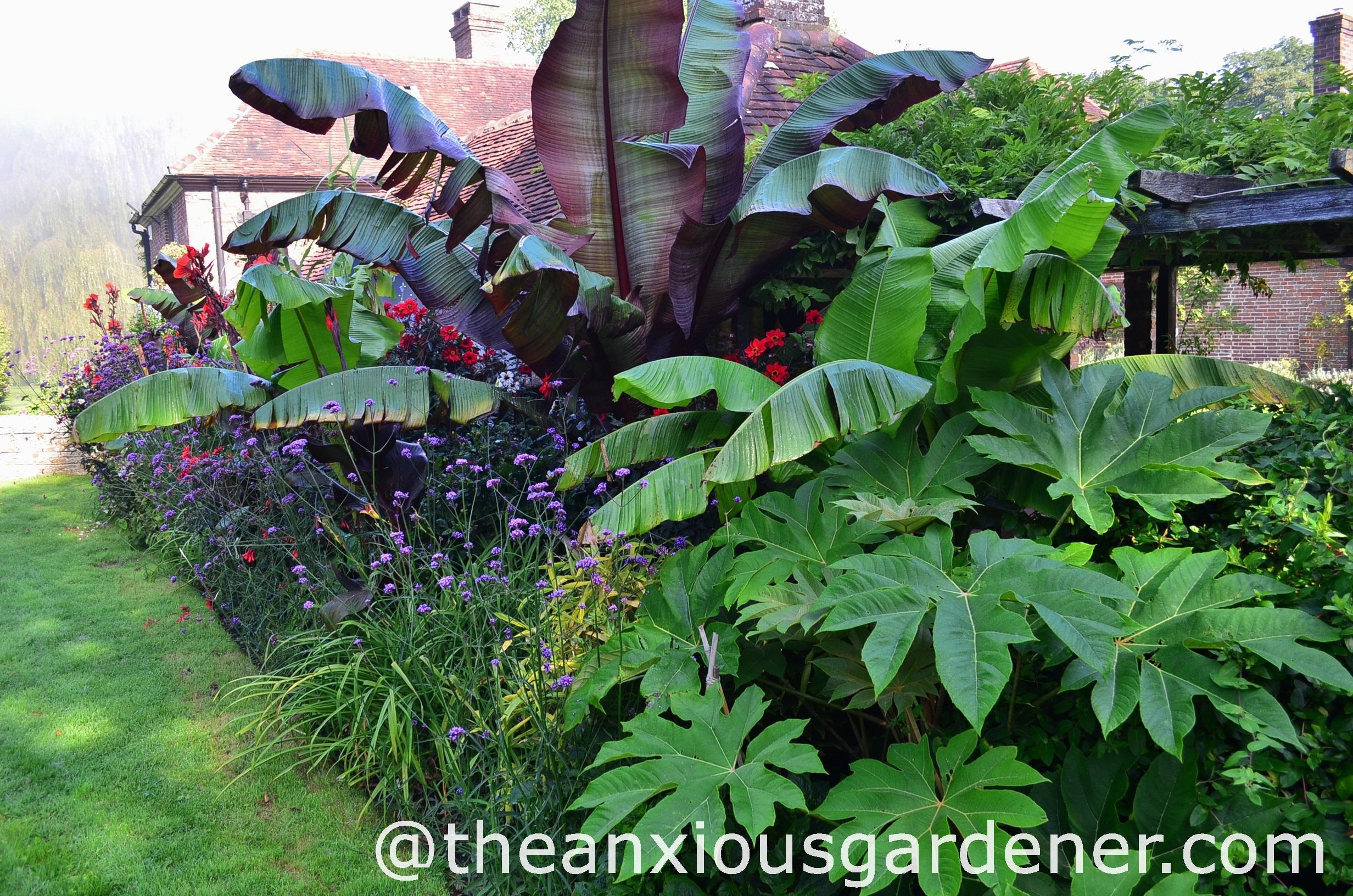 Ensete maurelii the anxious gardener for Hardy plants for the garden