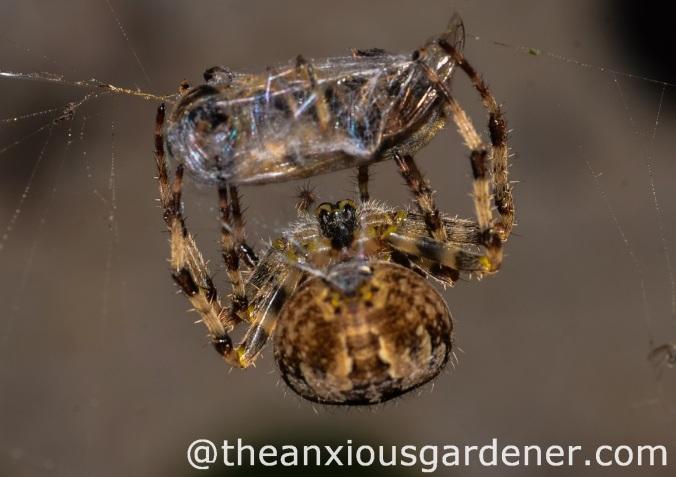 European_Garden_Spider