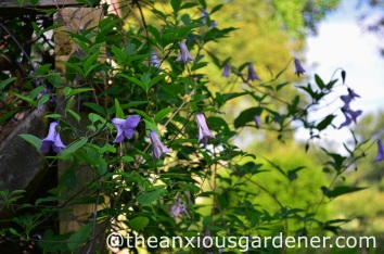 Clematis Betty Corning 2