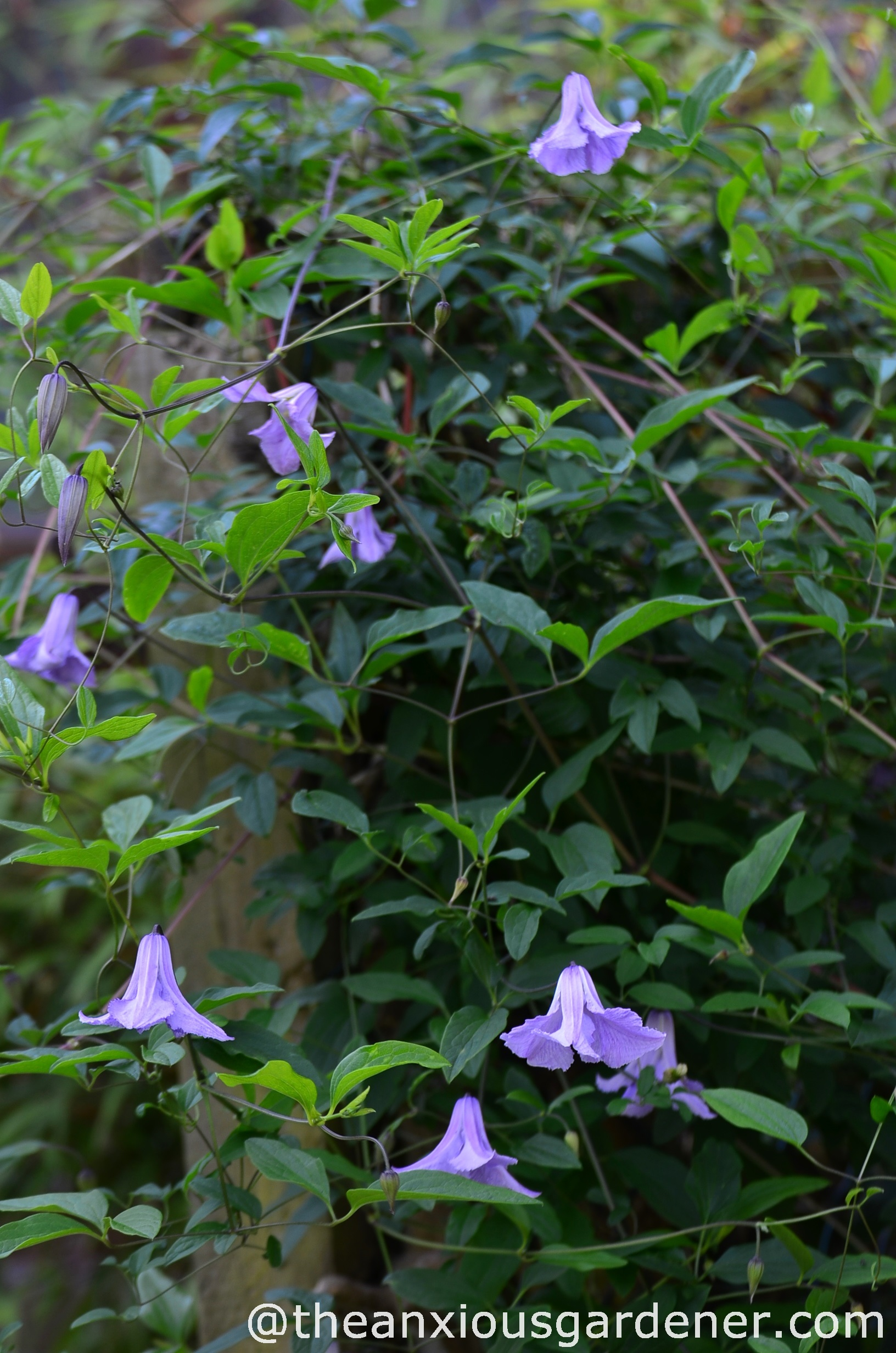 Clematis the anxious gardener - Clematis viticella ...