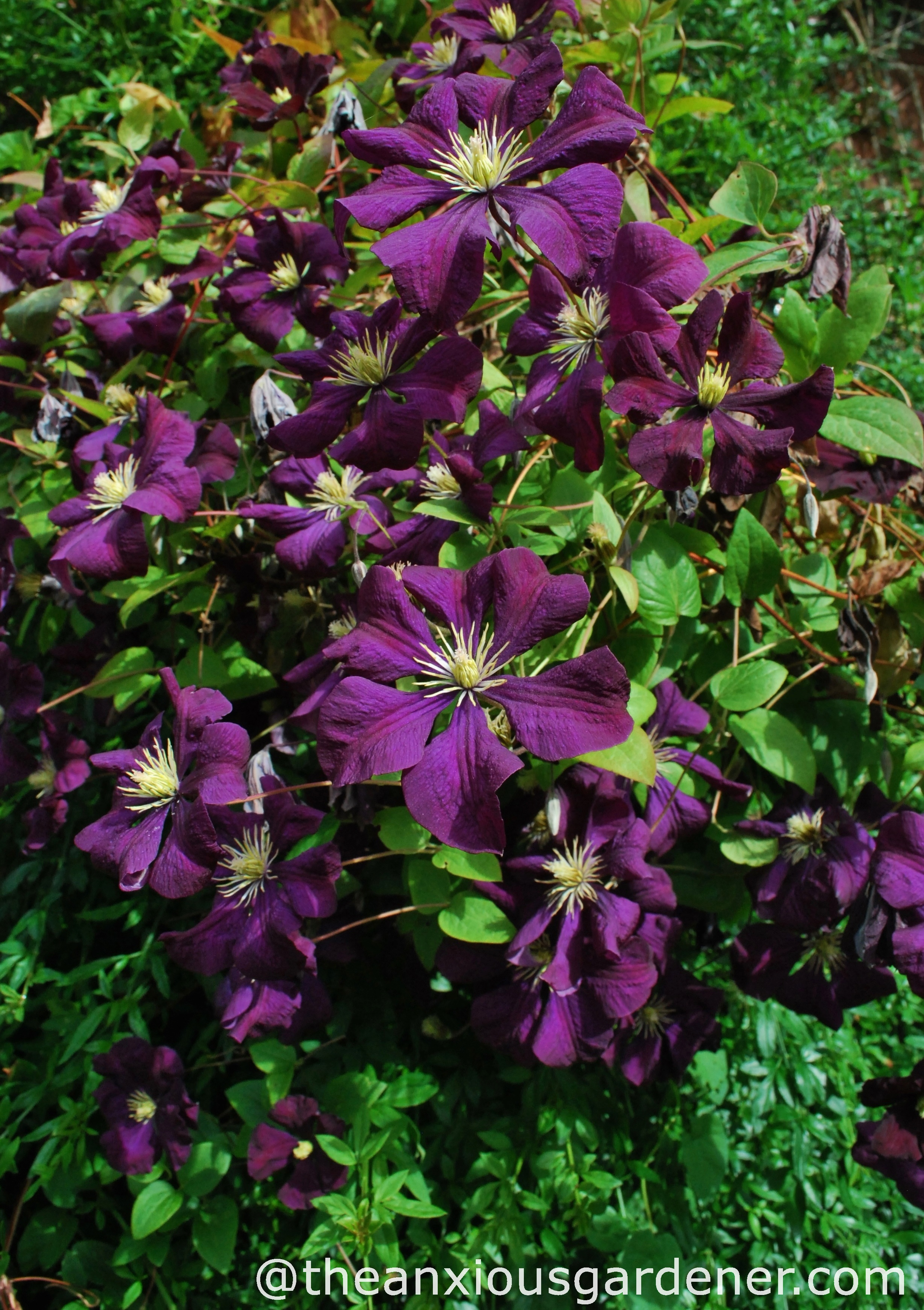 clematis the anxious gardener. Black Bedroom Furniture Sets. Home Design Ideas