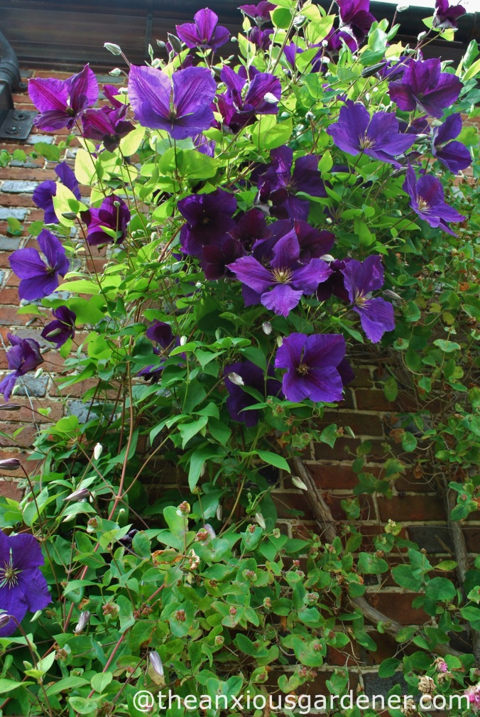 clematis x triternata rubromarginata the anxious gardener. Black Bedroom Furniture Sets. Home Design Ideas
