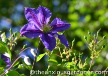Clematis Wisley 3
