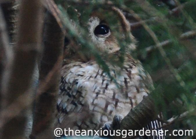 Tawny_Owl_1